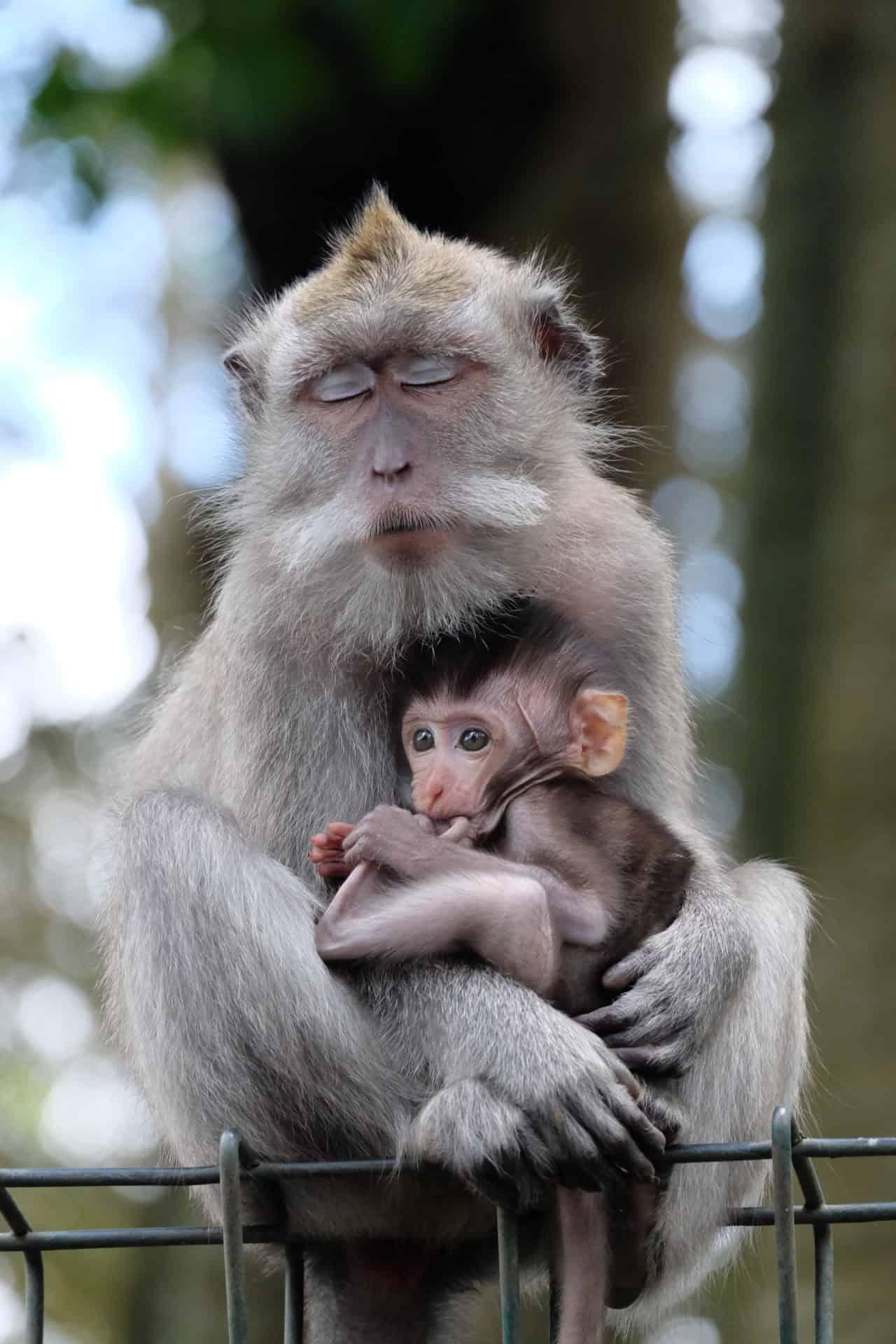 Monkey Forest_aap_Bali