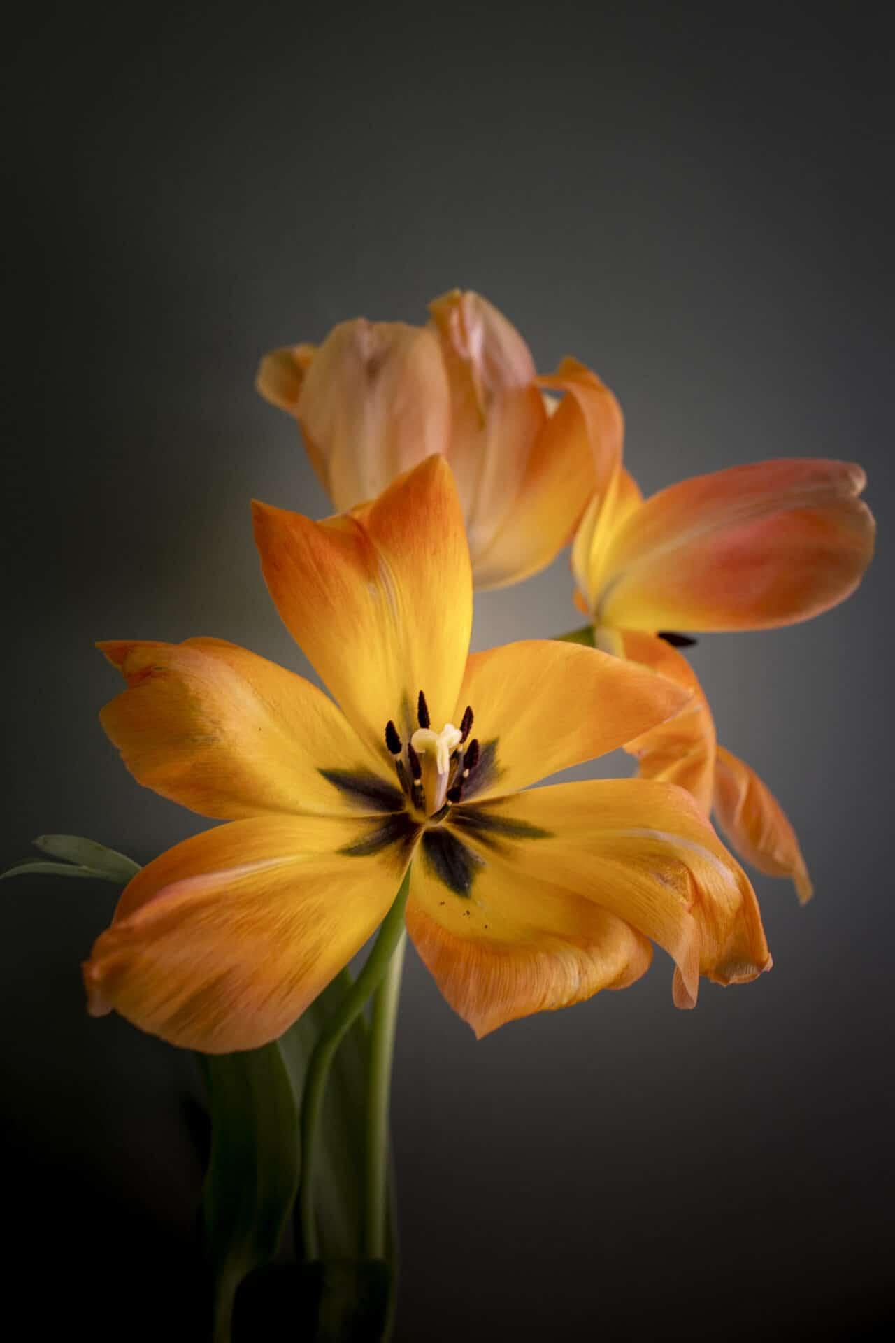 orange soft tulip