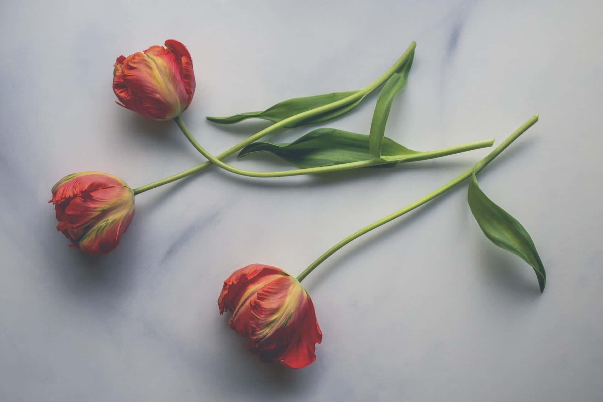 trio of red tulips_pastel